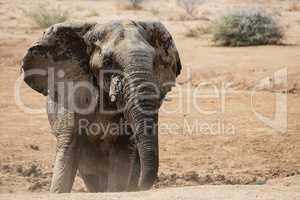 Elefant in Namibia Afrika