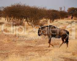 Streifengnu im Etosha-Nationalpark in Namibia Südafrika
