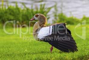 Egyptian goose, alopochen aegyptiacus