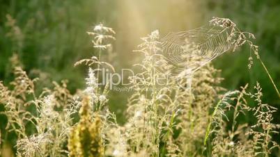 Summer Grass and Cobwebs