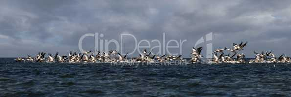 soaring flock of pink pelicans