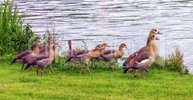 Egyptian geese, alopochen aegyptiacus,and babies