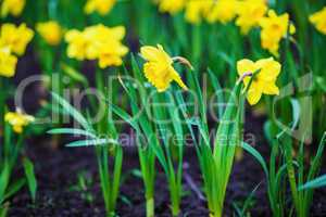Yellow daffodils flowers