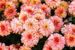 Many pink flowers