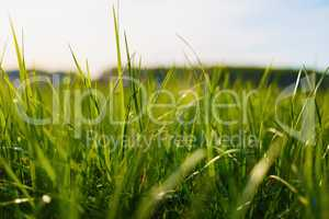 Thick green grass