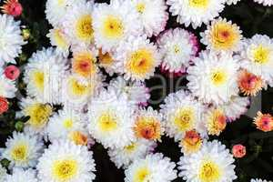 Many chrysanthemum flowers