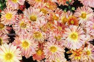 Gerbera flowers as background