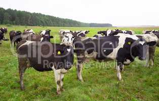 Dirty cows on field