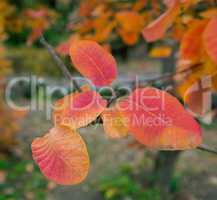 Leaves of smoke bush
