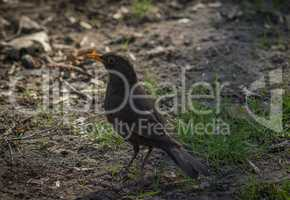 Cute blackbird wildlife (turdus merula).