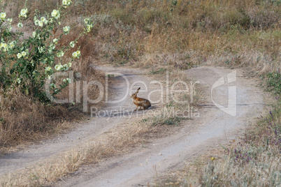 Hare on steppe road
