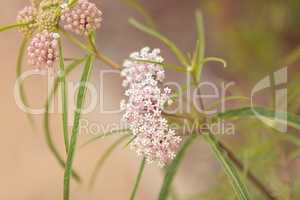 narrow leafed milkweed Asclepias fascicularis