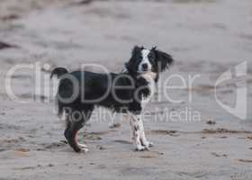 Black and white Papillon dog mix