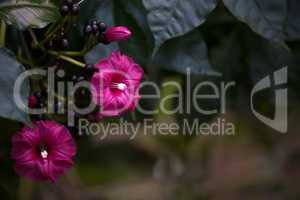 Red purple flower blooms on a tropical vine