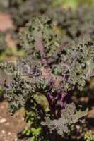 Scarlet Kale, Brassica oleracea