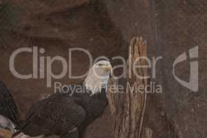 Southern Bald Eagle, Haliaeetus leucocephalus leucocephalus
