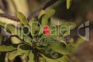 Tiny red flowers on Euphorbia milii var. splendens