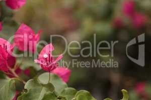 Pink flowers on a Bougainvillea bush vine