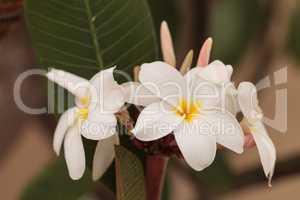 White Hawaiian plumeria hybrid, frangipani blooms