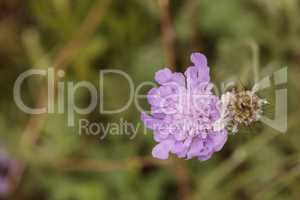 Purple Scabiosa flower called mourningbride