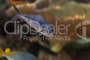 One stripe fusilier fish Pterocaesio tessellata