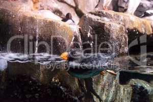 Tufted puffin called Fratercula cirrhata