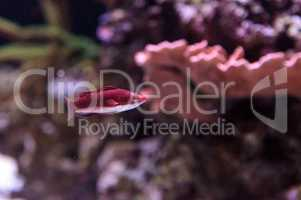 Dark red Cirrhilabrus sailfin fairy wrasse