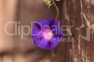 Purple morning glory flower Ipomoea purpurea