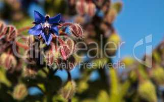 Blue starflower known as Borage officinalis attracts honeybees A