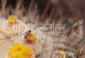 Honeybee, Apis mellifera