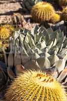 Blue agave cactus also called blue flame agave
