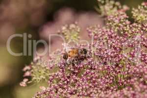 Honeybee, Apis mellifera, gathers pollen