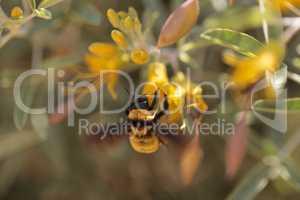 Western Bumble bee Bombus occidentalis
