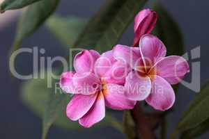 Pink Hawaiian plumeria hybrid
