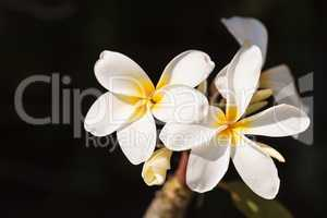 Hawaiian plumeria hybrid