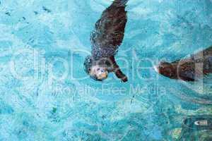 Giant River otter, Pteronura brasiliensis