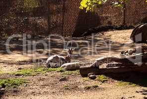 Speke?s gazelle, Gazella spekei