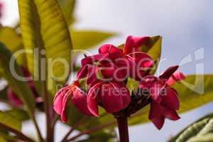 Red Hawaiian plumeria hybrid