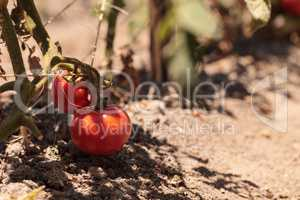 Better boy Tomatoes growing in an organic garden