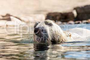 Polar bear known as Ursus maritimus