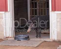 North American Guinea hog
