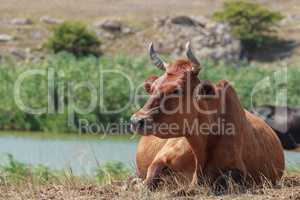 cow lying in a pasture