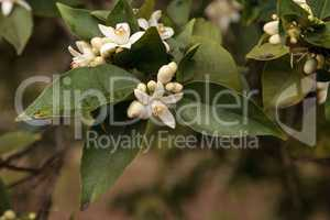 White flower blossoms on an orange tree