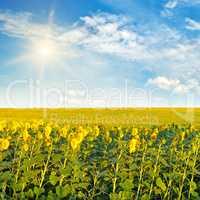 sunflowers and sun on cloudy sky