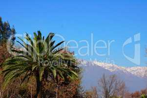 Palm tree and snowy mountains