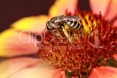 Bee collects pollen from flowers