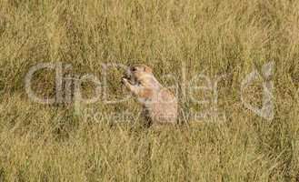 Hungry prairie dog