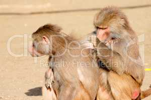 Two hamadryas baboons