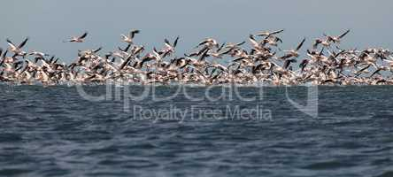 migration of pelicans