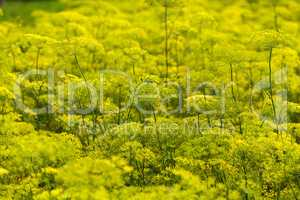 Yellow Flowers dill